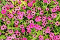 Pink flowers with green leaves for background. Pink flowers with green leaves for background texture Royalty Free Stock Image