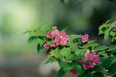 Pink flowers with green leaves. Bure background Royalty Free Stock Image