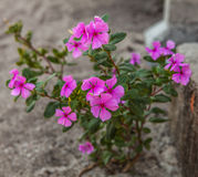 Pink flowers with green leaves Stock Image