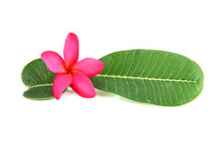Pink flowers and green leaves. Stock Photo