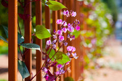 Pink flowers in green park. Pink flowers trailing over the fence background stock image