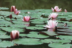 Pink flowers and green round leaves of water lilies Stock Image