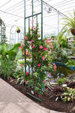 Pink flowers in Greenhouse. Beautiful terrace full with flower pots in a Botanical Garden Stock Image