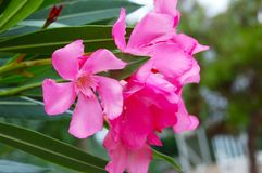 Pink flowers of exotic and subtropical plants isoalted. Pink flowers greenhouse of exotic and subtropical Stock Photos