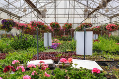 Pink flowers in a greenhouse Stock Photography