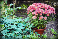Pink flowers grow in a pot in a garden. Bright pink flowers grow in a pot in a garden. Green leaves. Gardening, growing of flowers. chrysanthemums, arrangement Stock Photo