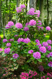 Pink flowers growing on blooming rhododendron shrub. Royalty Free Stock Images