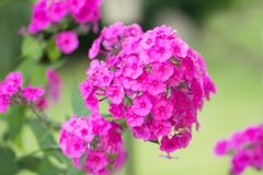 Pink flowers in garden Royalty Free Stock Image