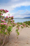 The pink flowers growing on sand against water and mountains in Royalty Free Stock Photo