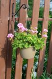Pink Flowers hanging from a basket on a fence in the garden. Closeup royalty free stock images