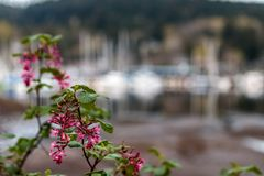 Pink flowers in harbor. Colorful bright pink flowers in front of docked boats in harbor stock image