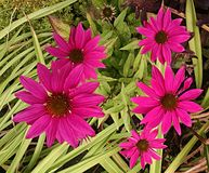 Pink flowers. Herb garden flowers Stock Image
