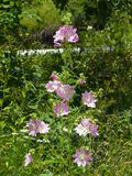 Pink flowers on Hollyhock, Alcea Pallida, close-up with bokeh background, selective focus, shallow DOF.  Royalty Free Stock Photography