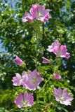 Pink flowers on Hollyhock, Alcea Pallida, close-up with bokeh background, selective focus, shallow DOF.  Royalty Free Stock Photo
