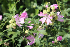 Pink flowers of hollyhock mallow or Malva alcea Royalty Free Stock Photography