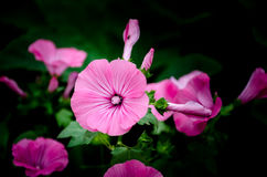 Pink flowers in home garden. Pink flowers in the home garden royalty free stock image