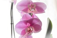 Pink flowers home Orchid. Blooms Orchid. Beautiful pink Orchid. stock image