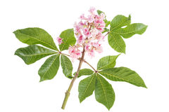 Pink flowers of horse chestnut closeup Royalty Free Stock Images