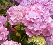Pink flowers of a hydrangea Royalty Free Stock Photos