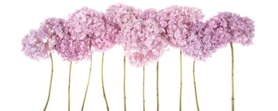 Pink flowers hydrangea (Clipping path) Royalty Free Stock Photos
