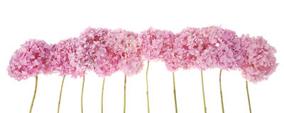 Pink flowers hydrangea (Clipping path) Stock Photos