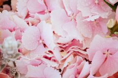 Pink flowers of hydrangea close-up. royalty free stock image