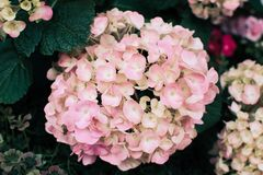 Pink flowers of Hydrangea. royalty free stock image