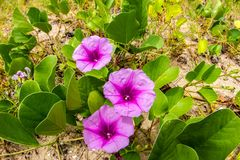 Pink flowers Ipomoea pes-caprae and beach in the morning sunri. Se Royalty Free Stock Images