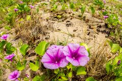 Pink flowers Ipomoea pes-caprae and beach in the morning sunri. Se royalty free stock photos