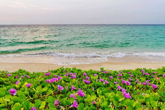 Pink flowers (Ipomoea pes-caprae) and beach in the morning sunri Royalty Free Stock Image