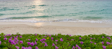 Pink flowers (Ipomoea pes-caprae) and beach in the morning sunri Stock Photography