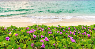 Pink flowers (Ipomoea pes-caprae) and beach in the morning sunrise royalty free stock images