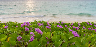 Pink flowers (Ipomoea pes-caprae) and blurred sea in the morning. Pink flowers (Ipomoea pes-caprae) and beach in the morning sunrise stock photo