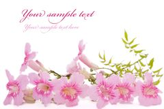 Pink flowers isolated on white. With place for text Royalty Free Stock Photos