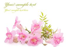 Pink flowers isolated on white. With place for text Royalty Free Stock Photo