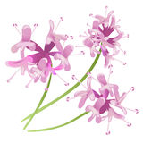 Pink Flowers isolated on white background Royalty Free Stock Images