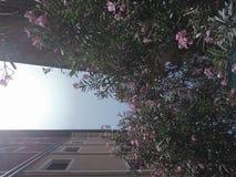Pink flowers on italian street. Summer sky on italian street with nice windows and pink flowers of Nerium oleander in the summer royalty free stock image