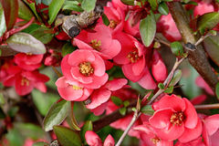 Pink flowers of Japanese quince in the garden Stock Image