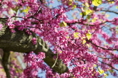 Pink flowers Judas tree or Cercis. Pink Blooming branches of Judas tree or Cercis siliquastrum with blue sky Stock Photography