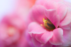 Pink Flowers Of Kalanchoe Stock Photography