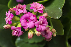 Pink flowers of Kalanchoe. Detailed view of Kalanchoe pink flowers Stock Photo