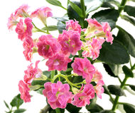 Pink flowers of Kalanchoe plant with green leaves isolated Royalty Free Stock Images