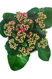 Pink flowers kalanchoe in a pot Stock Images