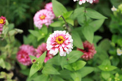 Zinnia Pink Flowers Royalty Free Stock Photo