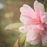 Pink Flowers. Light pink flowers with vintage effect taken in England in 2014 Stock Photography
