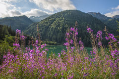 Pink flowers at a like in the mountains, Dolomites, Italy Stock Photos