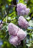 Pink flowers of lilac on the sky Stock Photography