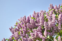 Pink flowers of lilac on the sky Royalty Free Stock Photo
