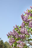Pink flowers of lilac on the sky Royalty Free Stock Images