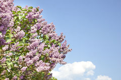 Pink flowers of lilac on the sky Royalty Free Stock Photos